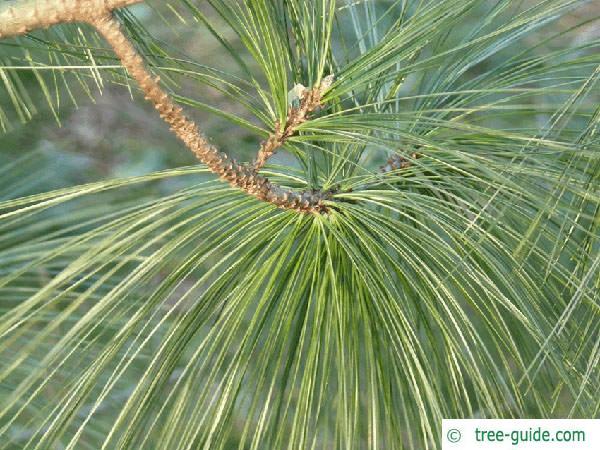 buhtan pine (Pinus wallichiana) needle base