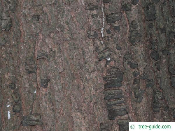 buhtan pine (Pinus wallichiana) trunk