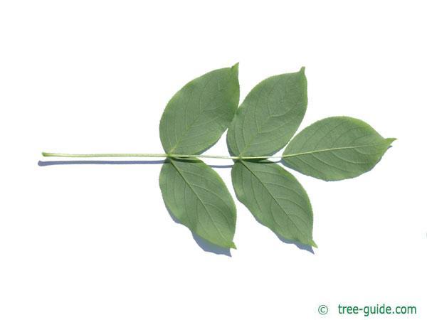 bumald bladdernut (Staphylea bumalda) leaf underside