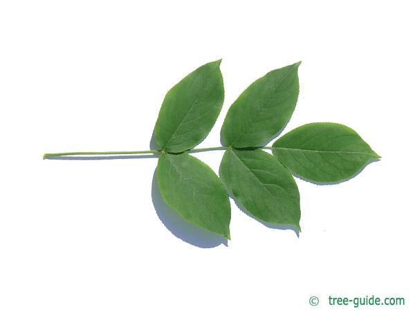 bumald bladdernut (Staphylea bumalda) leaf