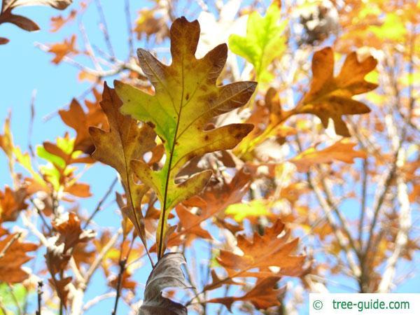 bur oak (Quercus macrocarpa) leaf in autumn