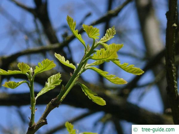 bur oak (Quercus macrocarpa) budding