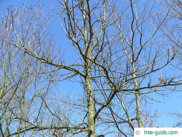 bur oak (Quercus macrocarpa) crown in winter