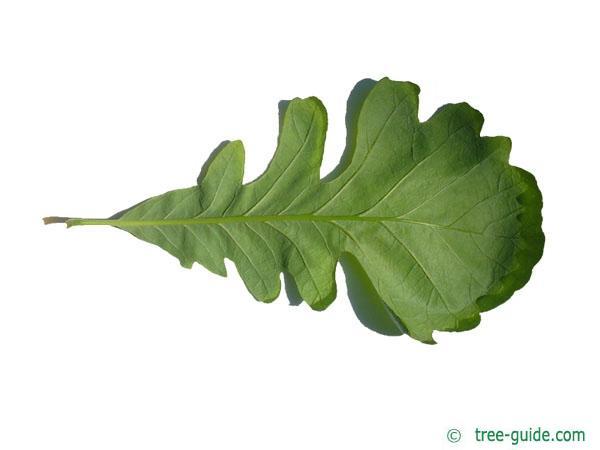 bur oak (Quercus macrocarpa) leaf underside