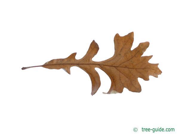 bur oak (Quercus macrocarpa) leaf in Winter