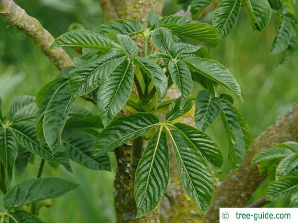 california buckeye (Aesculus californica) budding