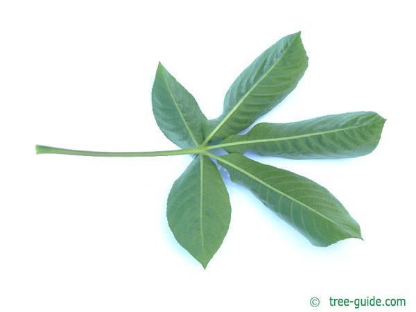california buckeye (Aesculus californica) leaf underside