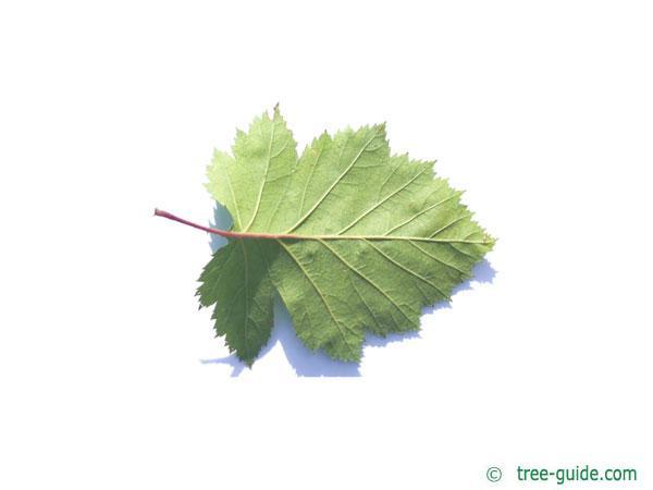 canadian hawthorn (Crataegus canadensis) leaf underside