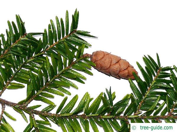 canadian hemlock (Tsuga canadensis)  branch cones