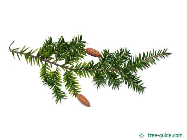canadian hemlock (Tsuga canadensis)  branch