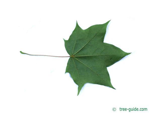 cappadocian maple (Acer cappadocicum) leaf underside