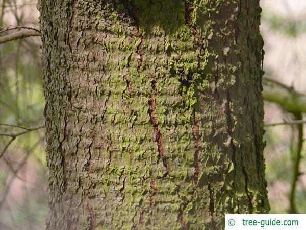 carolina hemlock (Tsuga caroliniana) trunk / stem