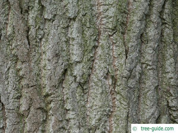 carolina poplar (Populus canadensis) trunk / stem