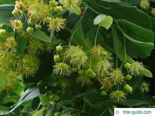 caucasian lime (Tilia x euchlora) flowers