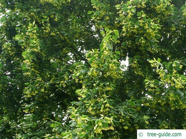 caucasian lime (Tilia x euchlora) terminal bud