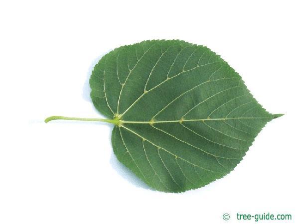 caucasian lime (Tilia x euchlora) leaf underside