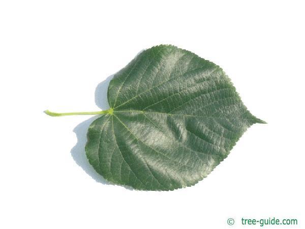 caucasian lime (Tilia x euchlora) leaf