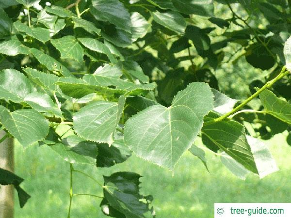 caucasian lime (Tilia x euchlora) foliage
