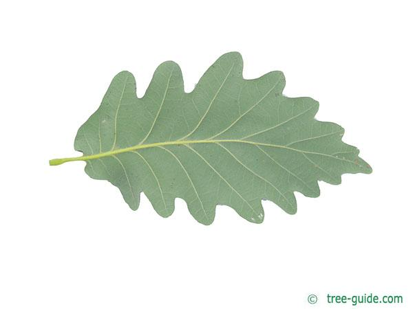 caucasian oak (Quercus macranthera) leaf underside