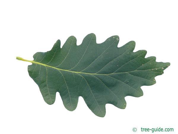 caucasian oak (Quercus macranthera) leaf