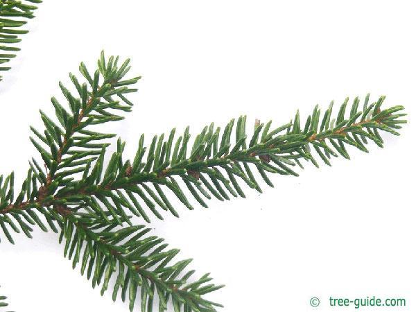 caucasian spruce (Picea orientalis) branch
