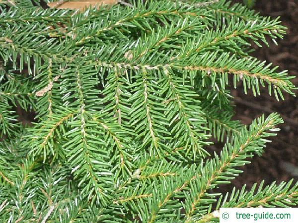 caucasian spruce (Picea orientalis) branches