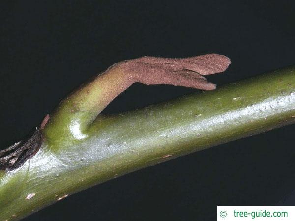 caucasian wingnut (Pterocarya fraxinifolia) axial bud