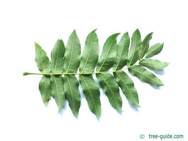 caucasian wingnut (Pterocarya fraxinifolia) leaf underside