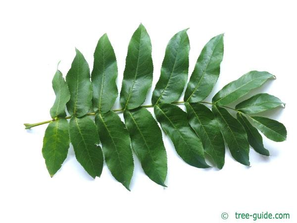 caucasian wingnut (Pterocarya fraxinifolia) leaf