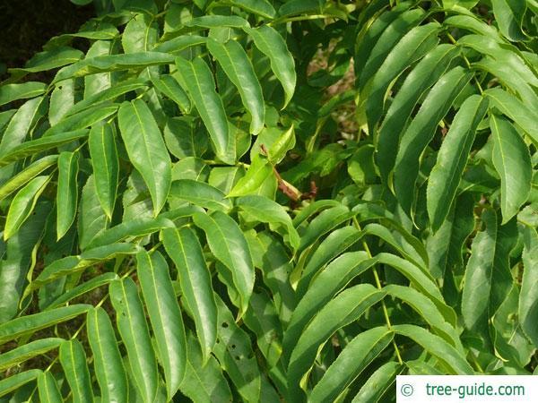 caucasian wingnut (Pterocarya fraxinifolia) leaves