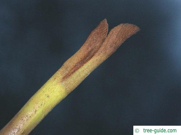 caucasian wingnut (Pterocarya fraxinifolia) terminal bud