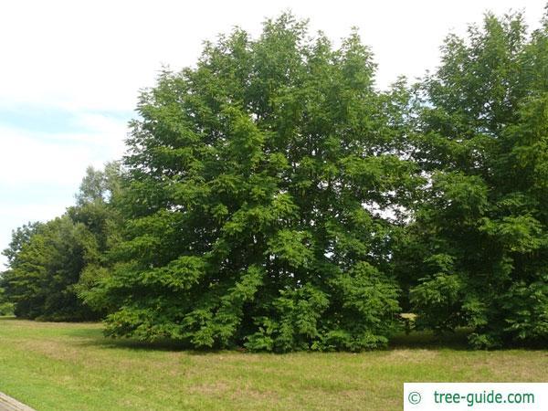 caucasian wingnut (Pterocarya fraxinifolia) tree