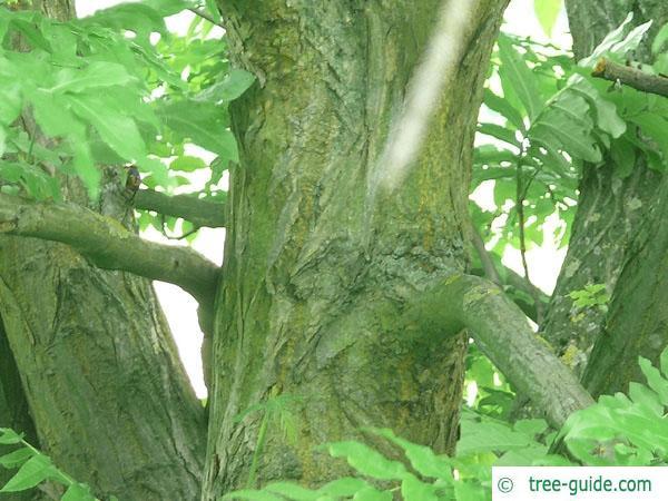 caucasian wingnut (Pterocarya fraxinifolia) trunk / bark