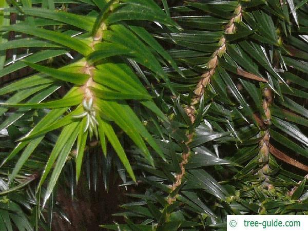 china fir (Cunninghamia lanceolata) branch