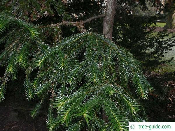 china fir (Cunninghamia lanceolata) branches