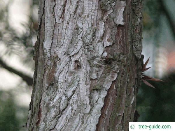 china fir (Cunninghamia lanceolata) trunk