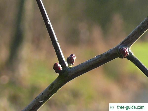 cockspur hawthorn (Crataegus crus-galli) buds thorn
