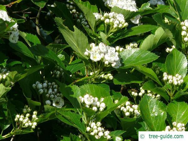 cockspur hawthorn (Crataegus crus-galli) flower buds