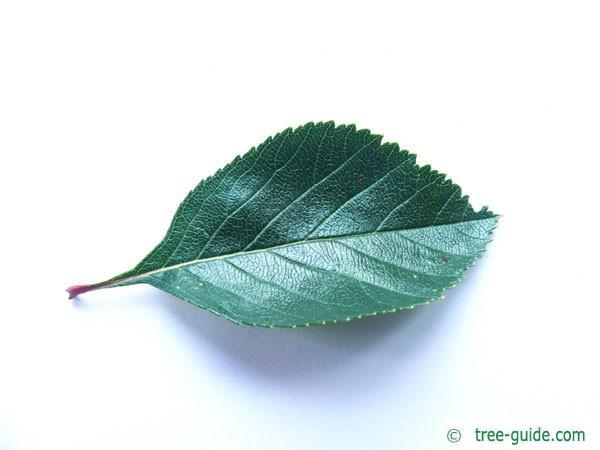 cockspur hawthorn (Crataegus crus-galli) leaf