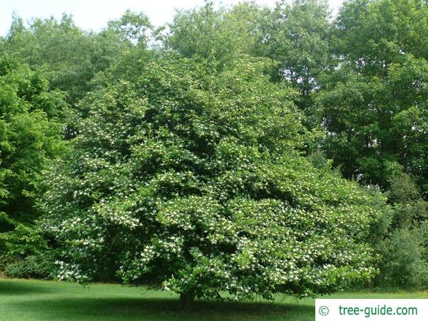 cockspur hawthorn (Crataegus crus-galli) tree green