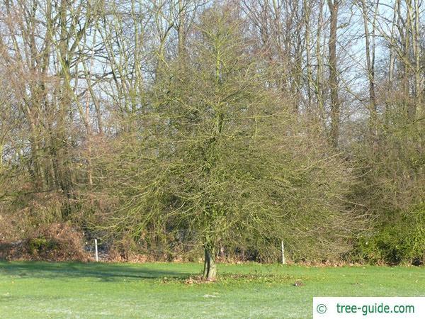 cockspur hawthorn (Crataegus crus-galli) tree