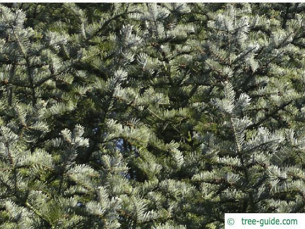 colorado fir (Abies concolor) branches