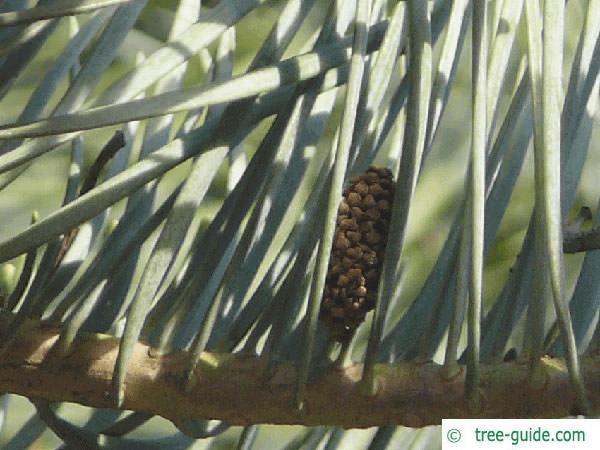 colorado fir (Abies concolor) needles