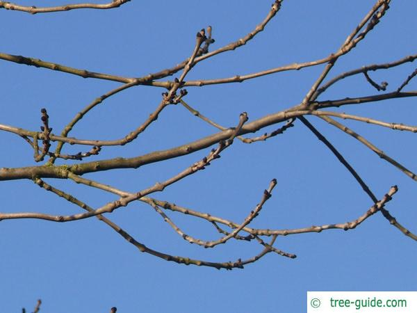 common ash (Fraxinus excelsior) branches