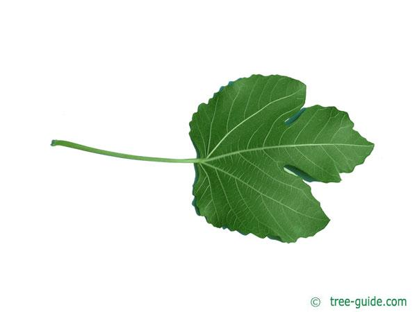 common fig (Ficus carica) leaf