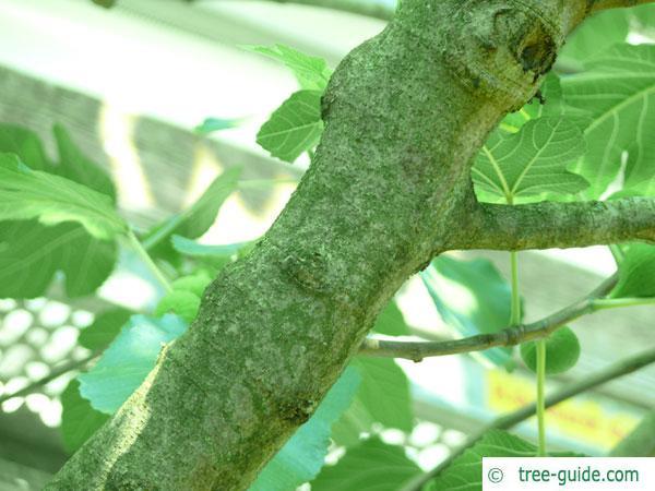 common fig (Ficus carica) trunk / bark