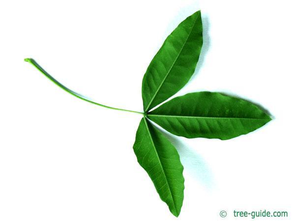 common golden chain (Laburnum anagyroides) leaf underside
