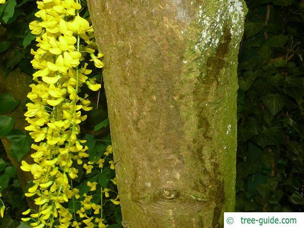 common golden chain (Laburnum anagyroides) trunk / bark