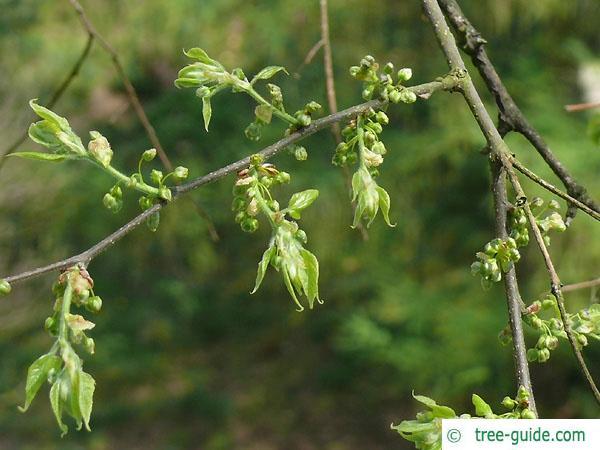 common hackberry (Celtis occidentalis) budding