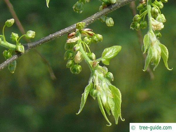common hackberry (Celtis occidentalis) flower buds